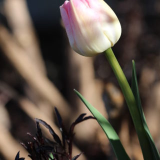Beautiful spring flower: tulip. Go outside and take in some vitamin D.