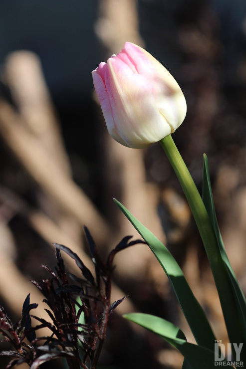 Beautiful spring flower: tulip.