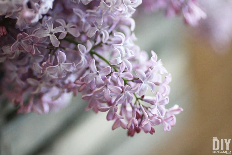 Freshly cut Lilacs